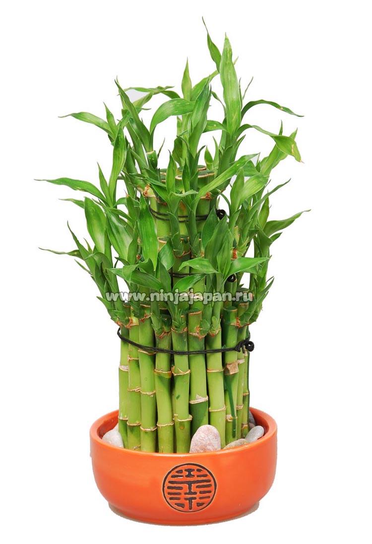 бамбук счастья комнатный в воде уход